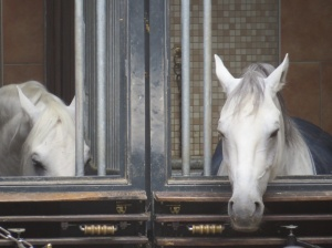 Closest I got to the Lipizzaner Horses of The Spanish Riding School